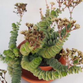 Crassula hottentot